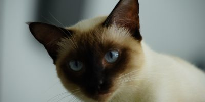 Tonkinese cat health problems
