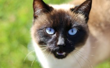 how long do Tonkinese cats live