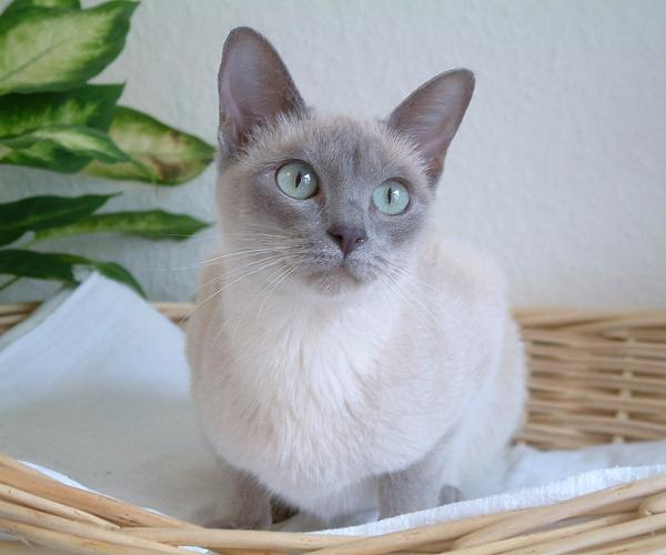 are Tonkinese cats hypoallergenic